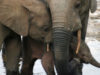 AI Helps Protect Endangered Elephants