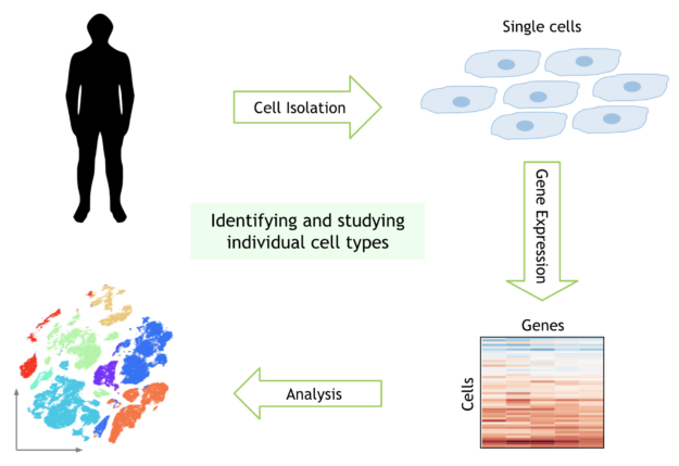 Schematic showing a matrix of gene activity across single cells, which is analyzed to produce a 2-D visualization showing clusters of similar cells.
