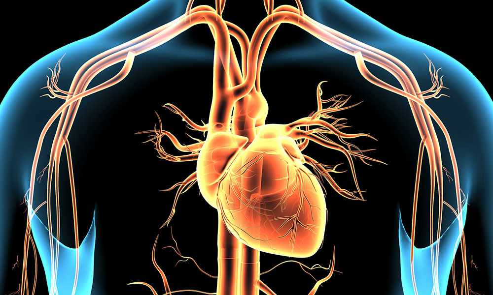3d illustration human body heart and brain.
